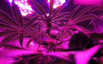 marijuana: la cura per il fegato