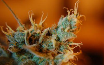 Cannabis legale (Thc 0,5%) di nuovo!