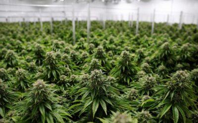 Il momento ideale per investire nella cannabis.